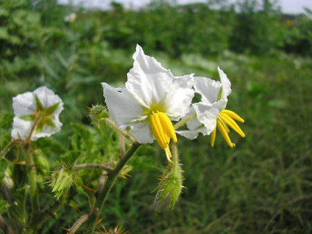 Pictures of Solanum Sisymbriifolium