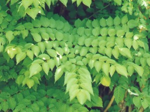 Aralia Spinosa Picture