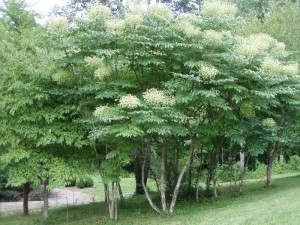 Images of Aralia Spinosa
