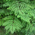 Pictures of Aralia Spinosa