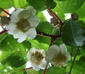 Kiwi Fruit Flower Photo
