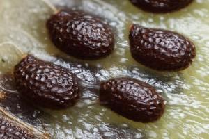 Kiwi Fruit Flower Seeds Image