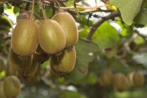 Photos of Kiwi Fruit