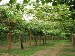 Kiwi Fruit Plant Picture