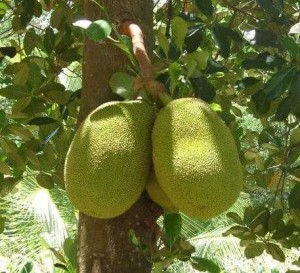 Pictures of Jackfruit