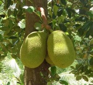 Pictures of Jackfruit