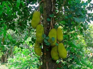 Jackfruit Tree Photo