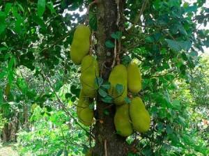 Jackfruit Tree Photo