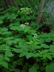 Photos of Aegopodium podagraria