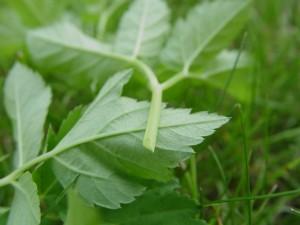 Pictures of Aegopodium podagraria