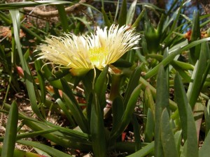 Photos of Carpobrotus Edulis