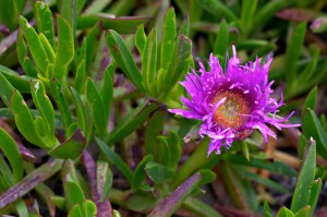 Pictures of Carpobrotus Edulis