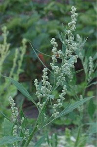 Chenopodium album Picture
