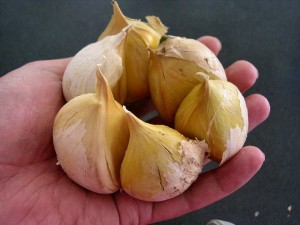Images of Elephant Garlic