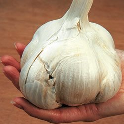 Elephant Garlic Picture