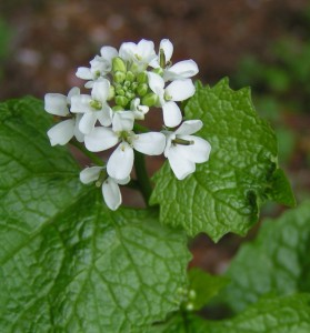 Garlic Mustard Picture