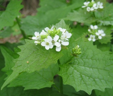 Images of Garlic Mustard