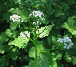 Garlic Mustard Plant Photo