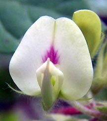 Horse Gram Flower Picture