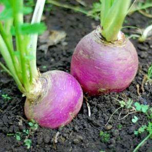 Turnip Picture