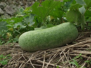 Winter Melon Picture