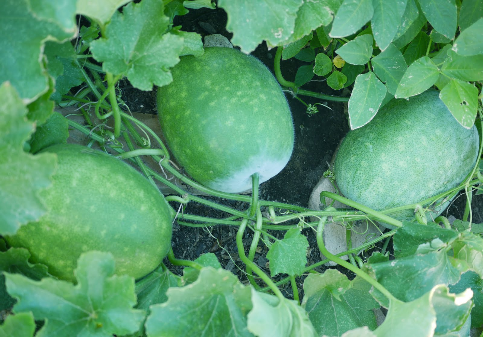 What does winter squash look like