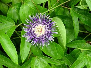 Passion Fruit Flower Photo