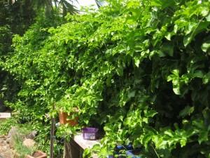 Passion Fruit Plant Picture