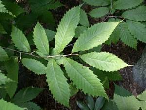 American Chestnut Leaf Photo