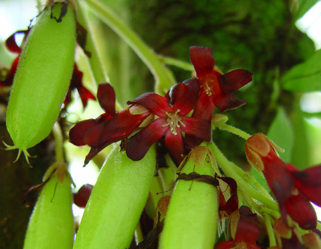 Images of Bilimbi