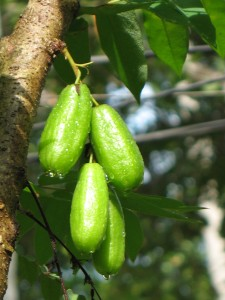 Photos of Bilimbi