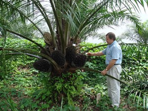 Palm Oil Tree Photo
