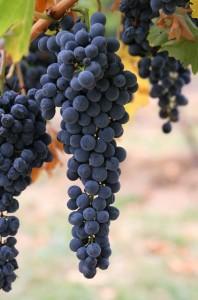 Purple Grapes Photo