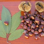 Images of American Chestnut