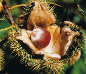 Photos of American Chestnut
