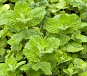 Images of Apple Mint