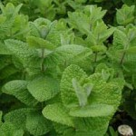 Pictures of Apple Mint