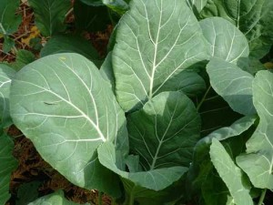 Images of Collard Greens
