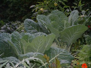 Photos of Collard Greens