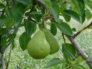Photos of Pears