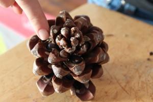 Pine Nut Cone