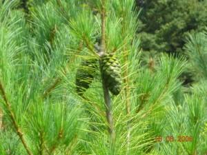 Pine Nut Tree