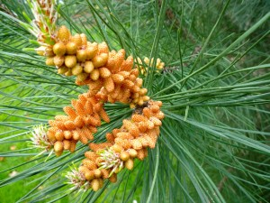 Pine Nut Tree Pictures