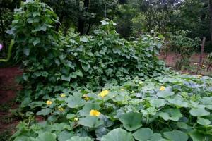 Delicata Squash Plant