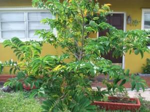 Sugar Apple Tree