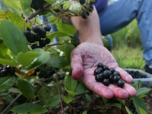 Aronia Berry Pictures