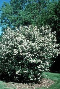 Chokeberry Bush