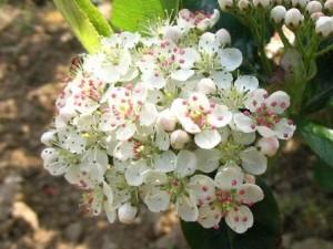 Chokeberry Flowers