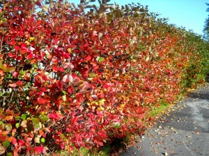 Chokeberry Hedge