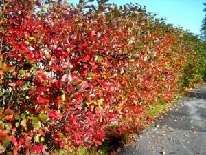 Chokeberry Hedge